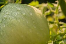 Free Green Tomato And Waterdrops Royalty Free Stock Image - 110118886