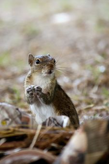 Free Macro Photography Of Brown Rodent Stock Image - 110174321