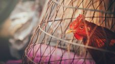 Free Red Rooster On Brown Wooden Cage Stock Images - 110174334