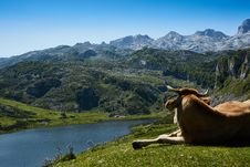 Free Brown Cattle Lying On Grass Field Watching Body Of Water Surrounded By Mountains Stock Images - 110174354