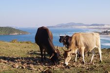 Free Cows Eating Grass Royalty Free Stock Image - 110174386