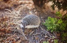 Free Gray And White Hedgehog On Brown Leafs Photography Stock Images - 110248544