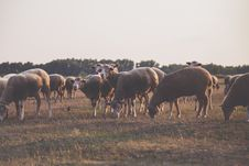 Free Wildlife Photography Of Herd Of Sheep Stock Images - 110248564