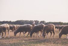 Free Herd Of Sheep Stock Photos - 110248573