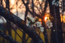 Free Selective Focus Photography Of White Cherry Blossoms At Sunset Stock Photos - 110248623