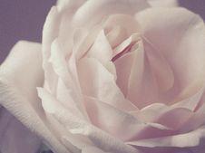 Free Closeup Photo Of White Rose Stock Images - 110341924