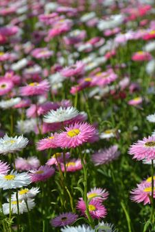 Free Flower, Plant, Flowering Plant, Aster Stock Photos - 110462003