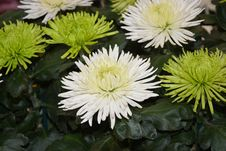 Free Flower, Plant, Aster, Daisy Family Stock Images - 110462004