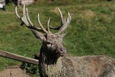 Free Wildlife, Deer, Fauna, Antler Royalty Free Stock Photos - 110462368