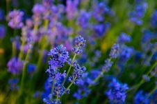 Free Blue, Lavender, English Lavender, Flower Stock Images - 110462394