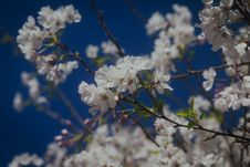 Free Spring Blossoms Blooming On A Tree, Against A Beautiful Blue Sky Background Royalty Free Stock Images - 110468729