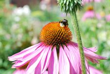 The Bee And  Pink Flower Royalty Free Stock Image
