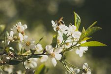 Free Bee On White Petaled Flowers Stock Photography - 110500992