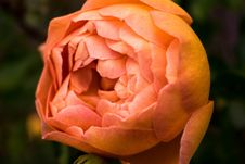 Free Close Up Photo Of Orange Petaled Rose Stock Image - 110501021