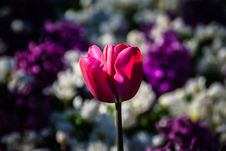 Free Flower, Pink, Plant, Flowering Plant Royalty Free Stock Photo - 110548955