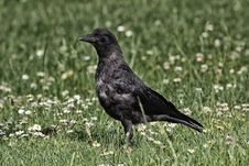 Free Bird, American Crow, Crow, Fauna Stock Photo - 110549370