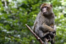Free Macaque, Mammal, Fauna, Primate Royalty Free Stock Image - 110549406