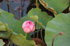 Free Flower, Sacred Lotus, Lotus, Plant Stock Photos - 110549413