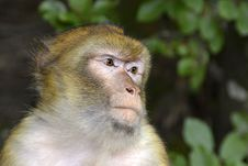Free Macaque, Fauna, Mammal, Primate Royalty Free Stock Images - 110549449