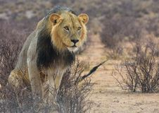 Free Wildlife, Lion, Terrestrial Animal, Masai Lion Royalty Free Stock Image - 110549636