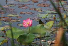 Free Flower, Plant, Sacred Lotus, Lotus Royalty Free Stock Images - 110549949