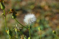 Free Flora, Flower, Vegetation, Sow Thistles Royalty Free Stock Images - 110550299