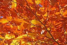 Free Leaf, Autumn, Deciduous, Orange Royalty Free Stock Images - 110550629