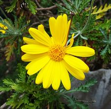 Free Flower, Yellow, Flora, Marguerite Daisy Stock Photography - 110551402