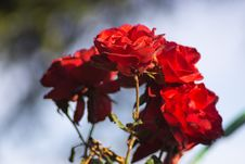 Free Flower, Red, Rose Family, Rose Stock Photos - 110551543