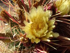 Free Flowering Plant, Plant, Cactus, Hedgehog Cactus Royalty Free Stock Images - 110613839