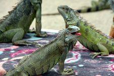 Free Reptile, Iguana, Iguania, Scaled Reptile Royalty Free Stock Photo - 110614265