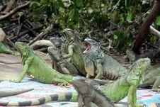 Free Iguana, Reptile, Iguania, Scaled Reptile Stock Photography - 110614312