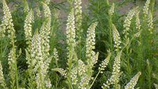 Free Plant, Grass Family, Grass, Arrowgrass Family Stock Photography - 110614662