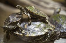 Free Turtle, Emydidae, Reptile, Common Snapping Turtle Royalty Free Stock Photography - 110614867