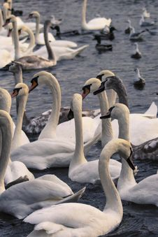 Free Swan, Water Bird, Water, Ducks Geese And Swans Royalty Free Stock Photography - 110614897