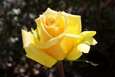 Free Rose, Flower, Rose Family, Yellow Stock Photography - 110615062