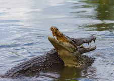 Free Crocodilia, Crocodile, Nile Crocodile, American Alligator Stock Image - 110615261