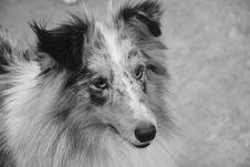 Free Dog, Black And White, Dog Breed, Dog Like Mammal Royalty Free Stock Photography - 110615517