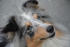 Free Dog, Dog Breed, Dog Like Mammal, Rough Collie Royalty Free Stock Image - 110615526