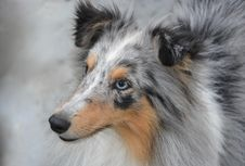 Free Dog, Rough Collie, Dog Like Mammal, Scotch Collie Royalty Free Stock Images - 110615549