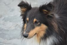 Free Dog, Dog Like Mammal, Scotch Collie, Rough Collie Royalty Free Stock Photos - 110615558