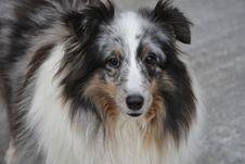 Free Dog, Dog Breed, Dog Like Mammal, Shetland Sheepdog Royalty Free Stock Image - 110615566