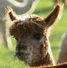 Free Alpaca, Camel Like Mammal, Terrestrial Animal, Llama Royalty Free Stock Image - 110615666