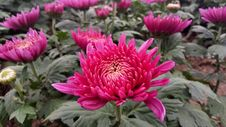 Free Flower, Plant, Chrysanths, Aster Royalty Free Stock Photography - 110615687