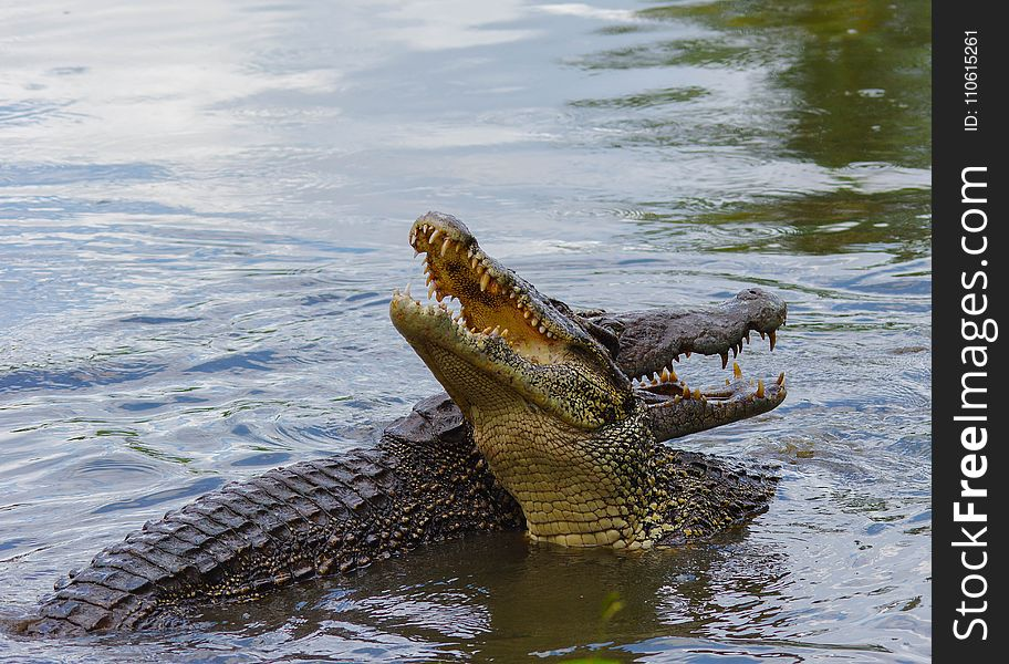 Crocodilia, Crocodile, Nile Crocodile, American Alligator