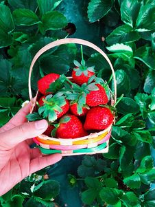 Free Basket Of Red Strawberries Royalty Free Stock Photo - 110654965