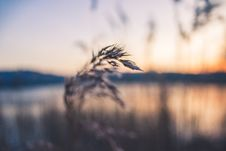 Free Shallow Focus Photography Of Grey Wheat Royalty Free Stock Photography - 110655167