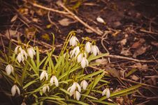 Free Snowdrops In The Garden Filtered Royalty Free Stock Images - 110687429
