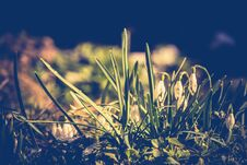 Free Snowdrops In The Garden Filtered Royalty Free Stock Photo - 110687545