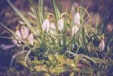 Free Snowdrops In The Garden Filtered Royalty Free Stock Photography - 110687607